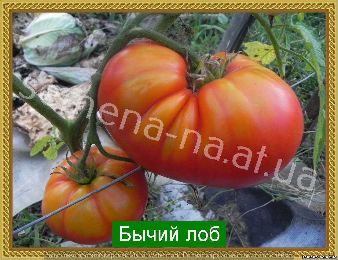 Сорт томата бычий лоб описание сорта