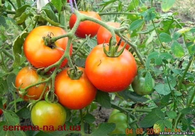 томат Дарина