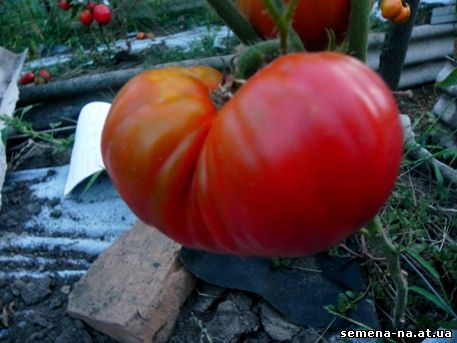 томат Анжела гигант