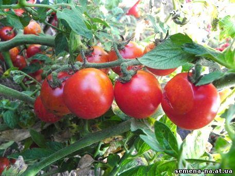 томат Сладкий миллион